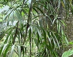 Le rotin, un palmier grimpant