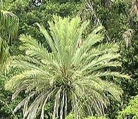 Jolie couronne de palmes à brisbane, australie
