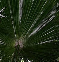 Dessous d'une palme de Washingtonia robusta