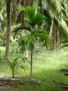 areca-catechu-adulte